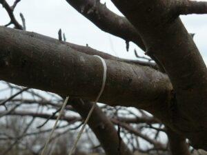 Арбопластика в картинках… Или, как согнуть яблоню толщиной 15 см… и что из этого вышло