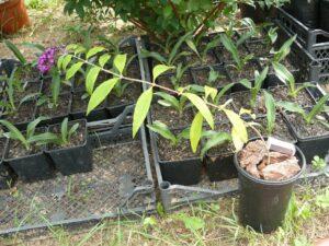 """Как избежать грубых ошибок при """"кустарном"""" (не промышленном) выращивании контейнерных растений?"""