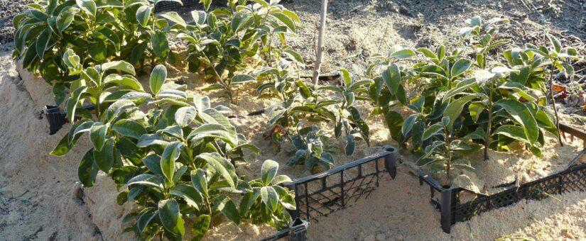 Укрытие и зимовка контейнерных растений